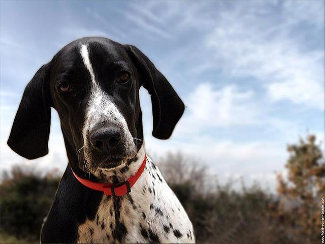 Las características físicas de los perros bracos de Auvernia