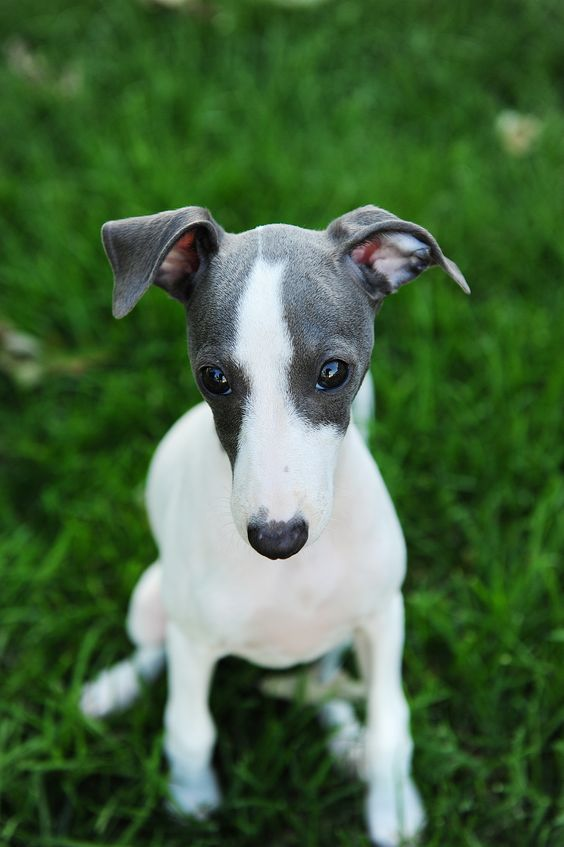 Greyhounds for Adoption  Hollydogs Greyhound Adoption