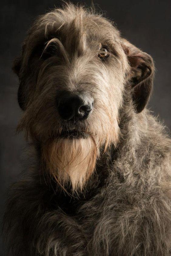 las razas de galgos más común es wolfhound