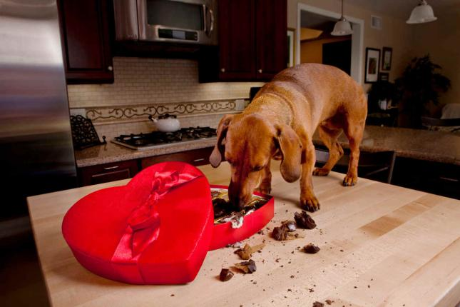 Alimentos dañinos e incluso tóxicos para perros chocolate