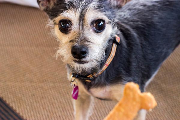 Los perros pueden comer avena