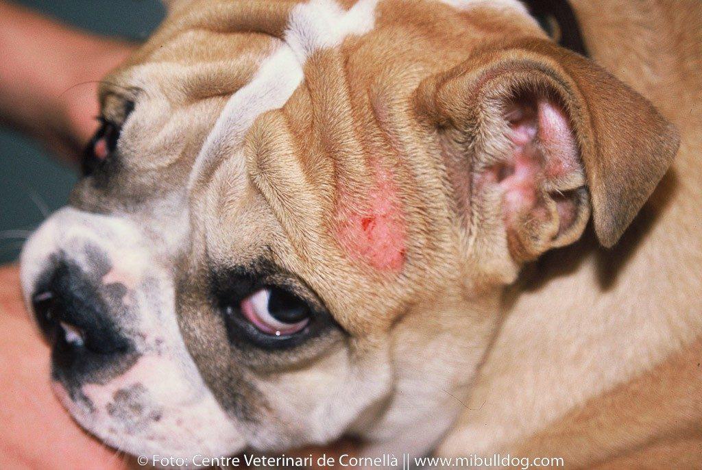 Los tipos de sarna más comúnes en perros