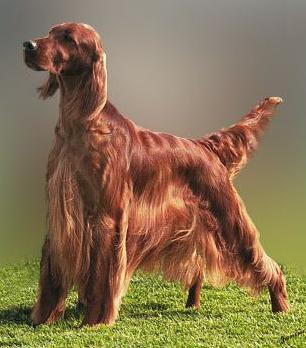 Origen del perro setter irlandés