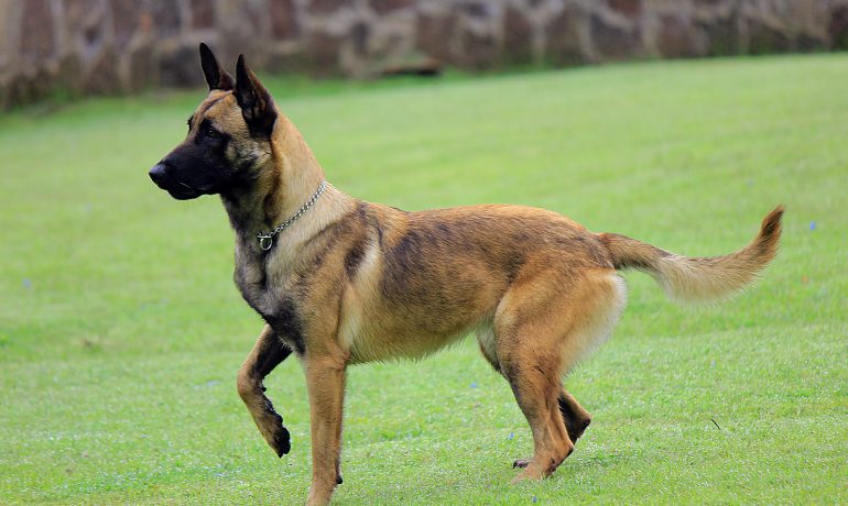 raza perro pastor belga malinois