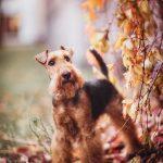 perro Welsh terrier