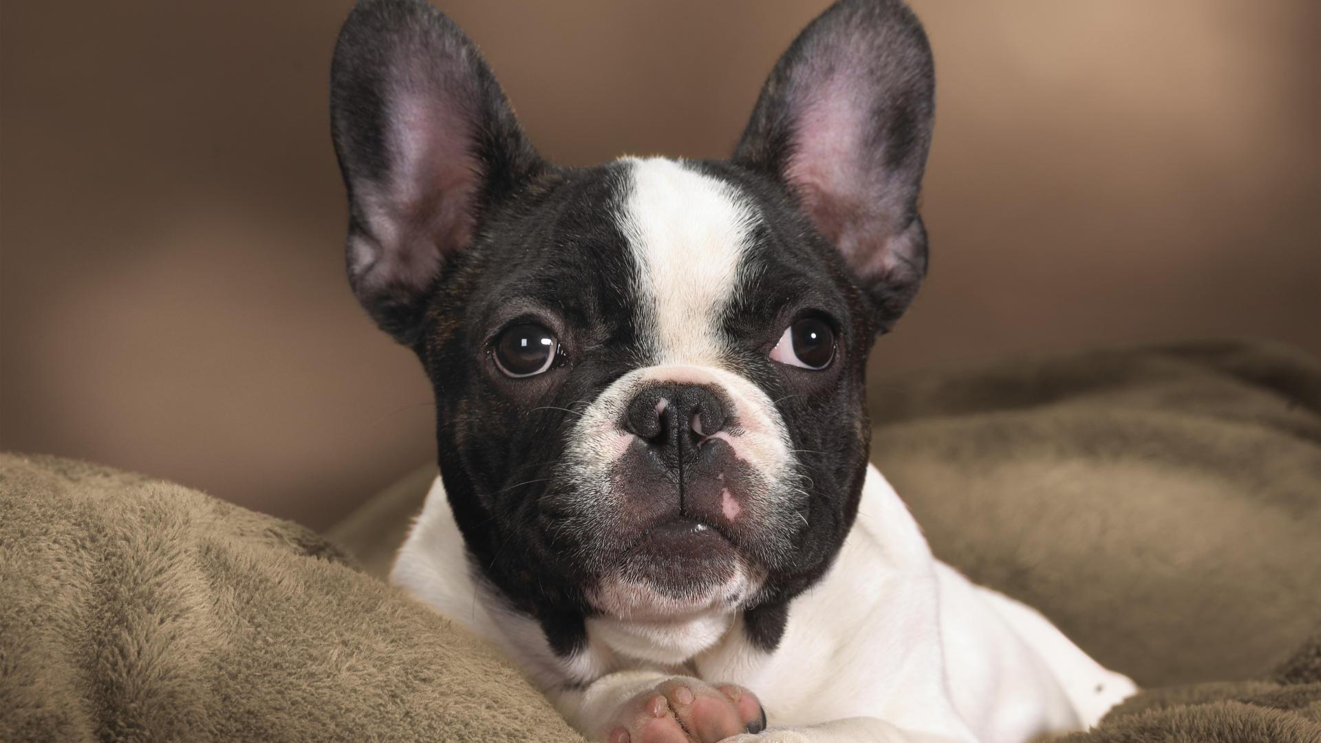 Descúbrelo TODO sobre el Perro Bulldog Francés, ¡alucínalo! | Wakyma