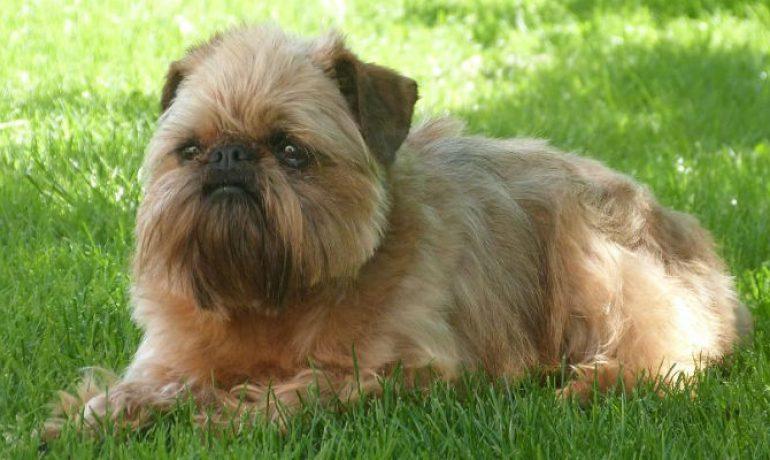 perro-de-raza-grifon-de-bruselas