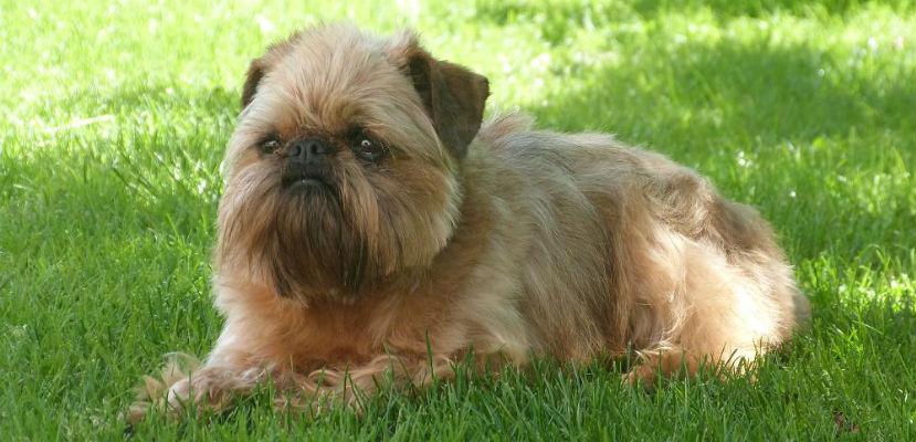 perro de raza grifón de Bruselas
