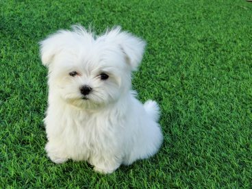 perro de raza pequena Bichon frise