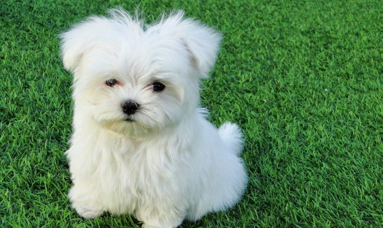 Descubre Los Perros De Razas Pequeñas Más Populares Wakyma