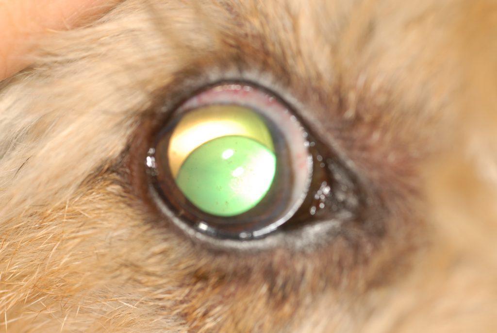 perro operado de luxación del cristalino