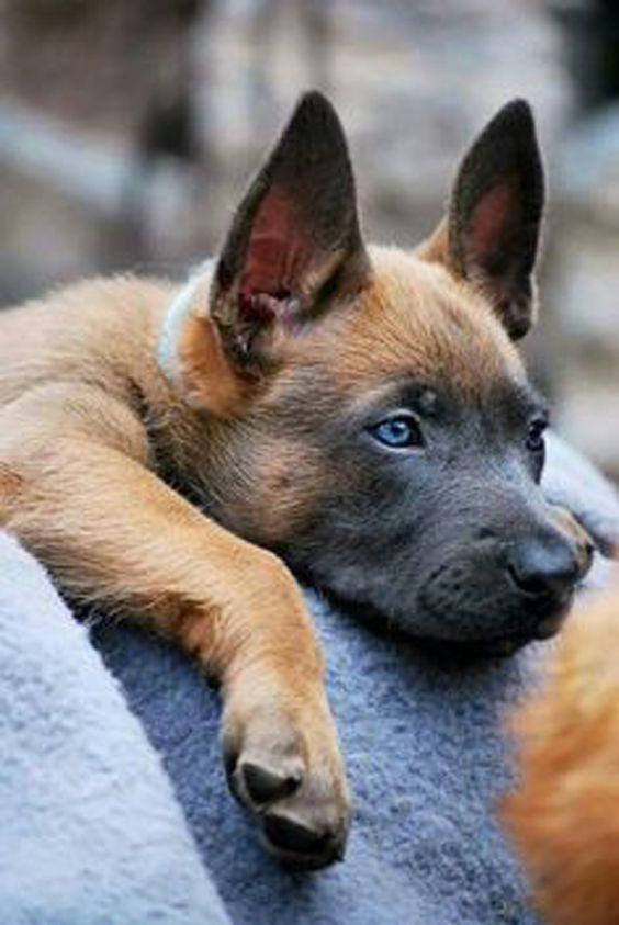 perro pastor belga malinois