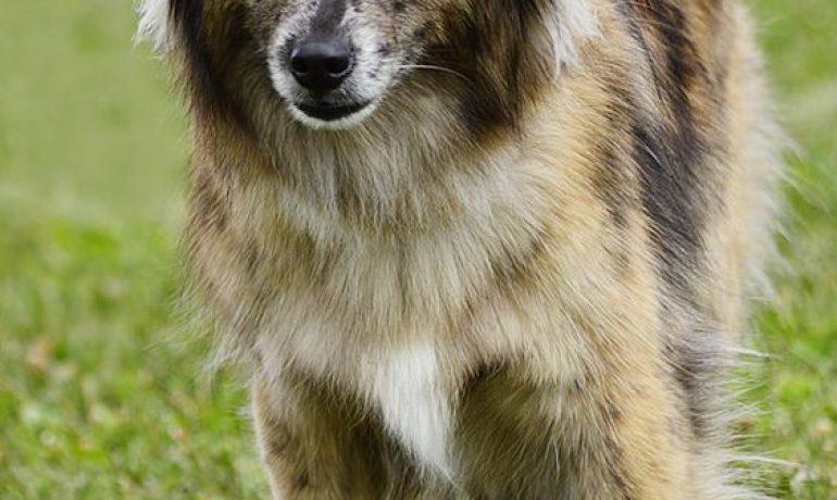 perro pastor del pirineo