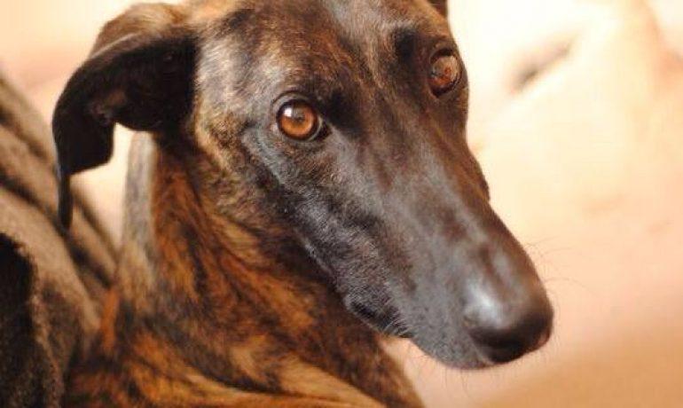 perros de la raza galgo anglo-español