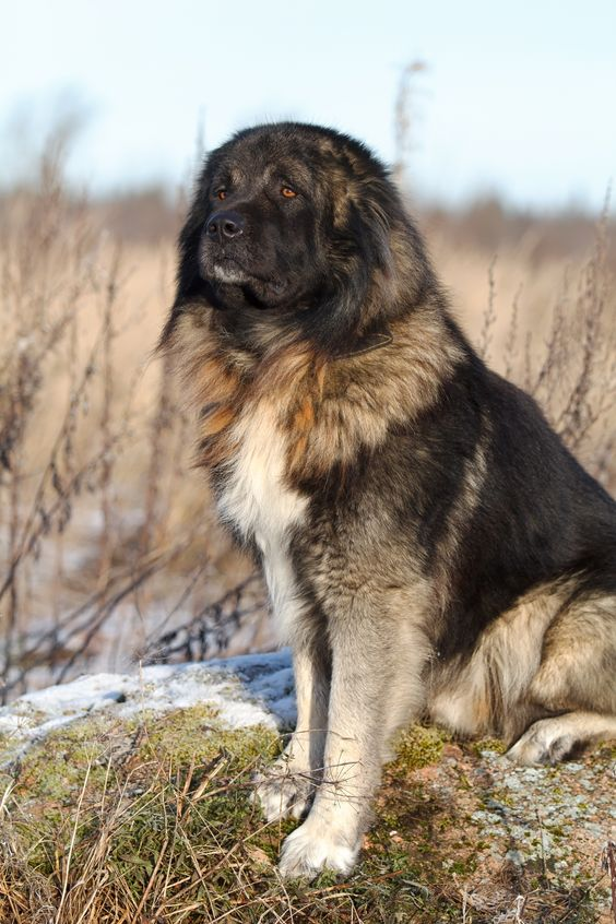 Perros de la raza Pastor del Cáucaso