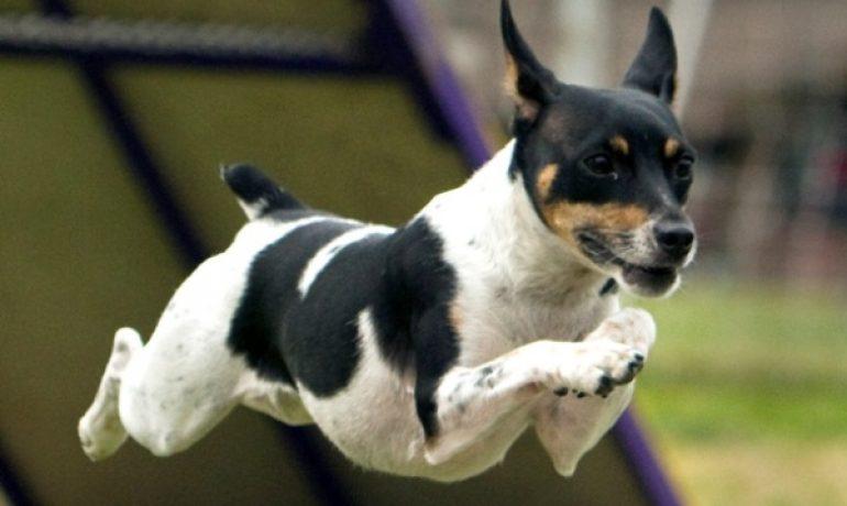 los perros de la raza rat terrier
