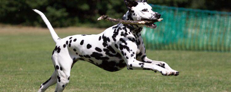 perros de raza grande dálmata