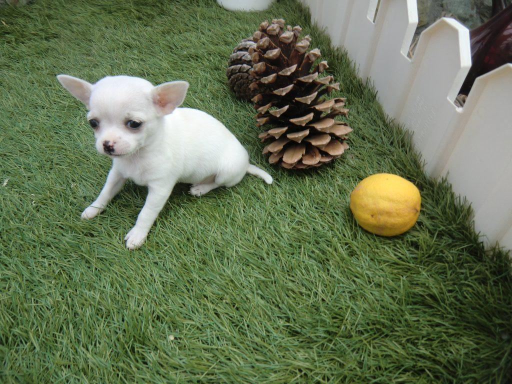 perros de raza pequena chihuahua