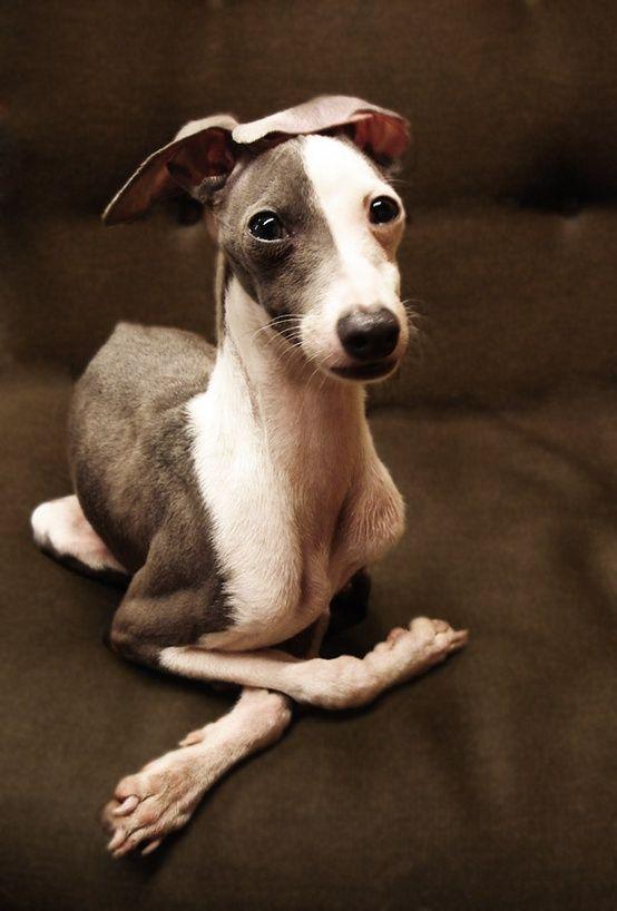perros de razas pequenas Lebrel italiano o mini galgo