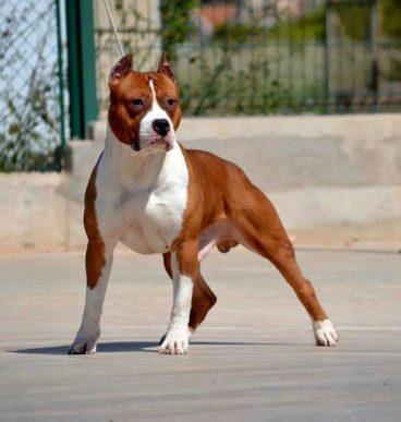 perros potencialmente peligrosos Staffordshire terrier