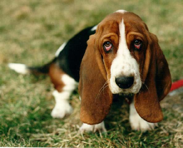 perros raza Basset-Hound