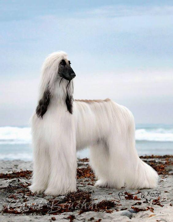 Qué aspecto tiene el perro Galgo Afgano