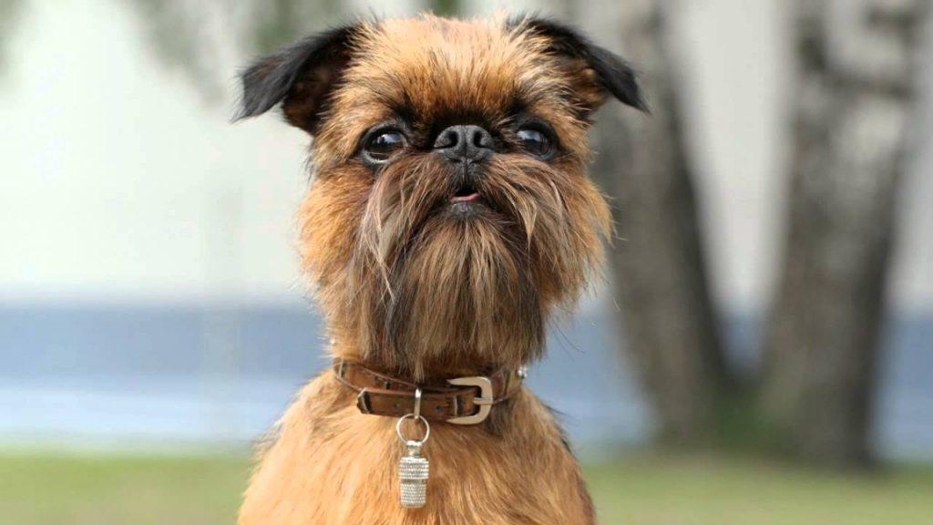Qué caracteriza a los perros de la raza grifón de Bruselas
