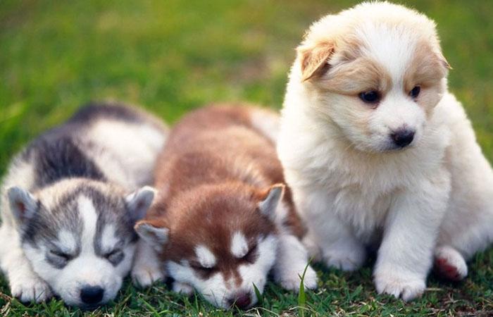 Qué comportamiento suele caracterizar a la raza de perro pomsky