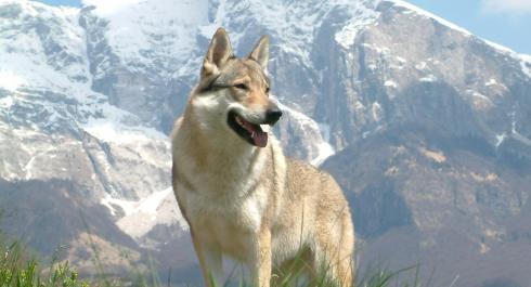 Qué cuidados necesita la raza del perro lobo checoslovaco