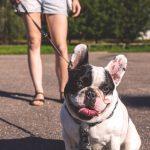 Qué cuidados necesitan los Boston Terrier y los Bulldog Francés