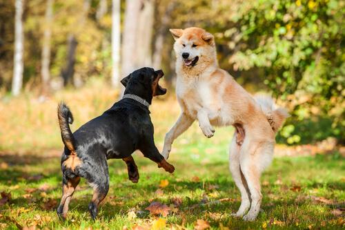 Qué puedo hacer si mi perro ataca a otros perros