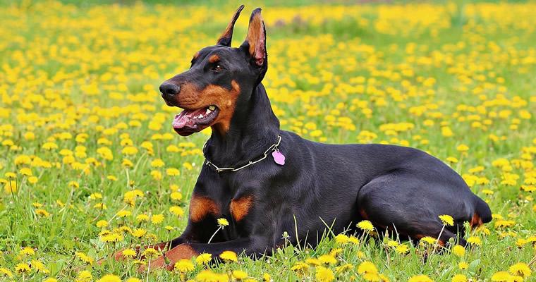Quieres saberlo todo sobre la raza de perros Dobermann