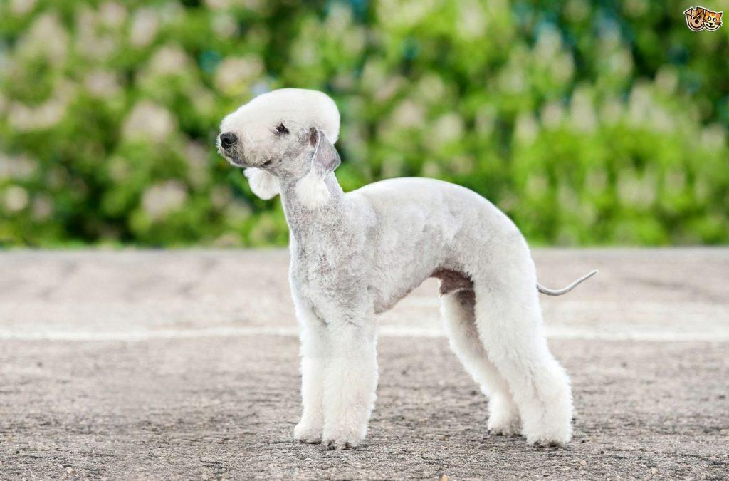 raza de perro Bedlington Terrier