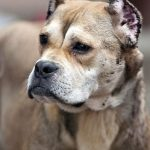 raza de perro alano espanol