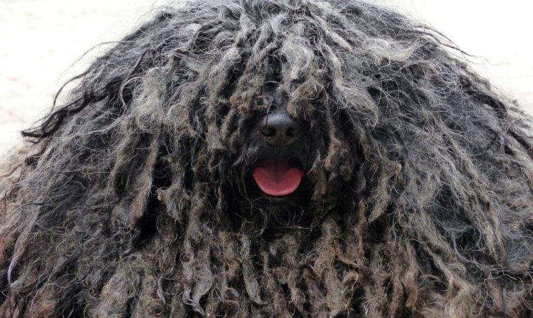 raza de perro puli