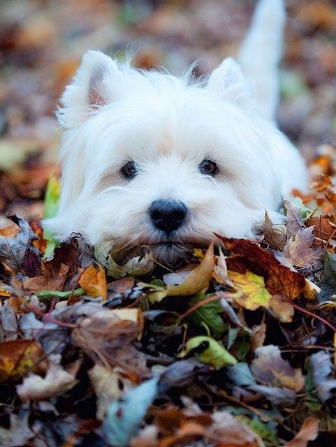 razas de perros que no sueltan pelo West Highland White Terrier