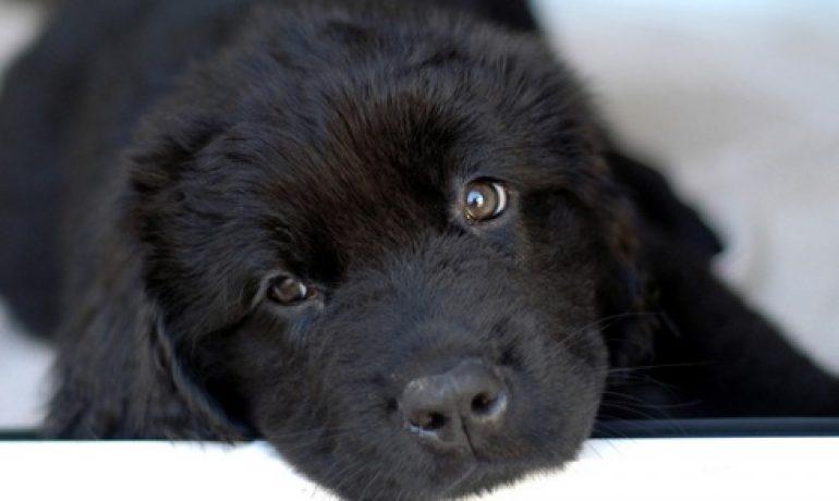 personalidad de la raza de perro terranova