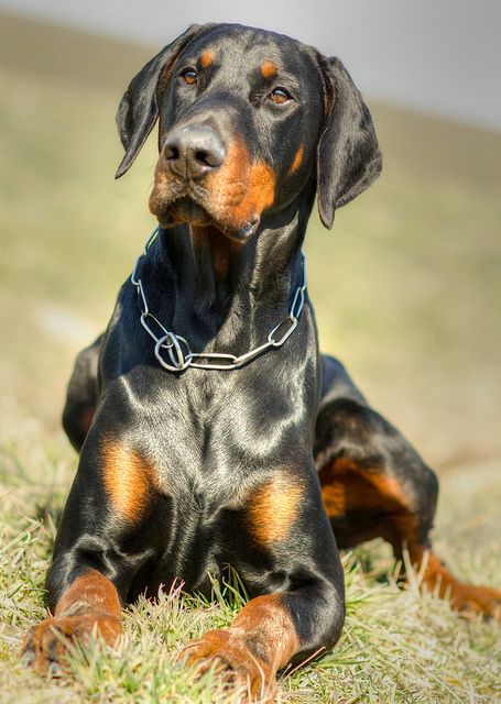 raza de perros Dobermann