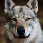 raza del perro lobo checoslovaco