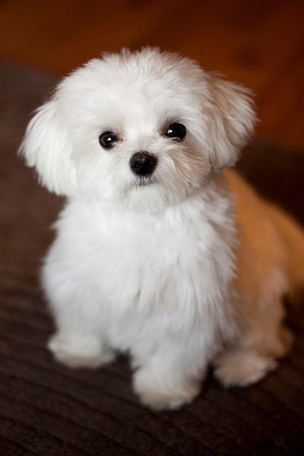 razas caninas de perros hipoalergenicos bichon maltes