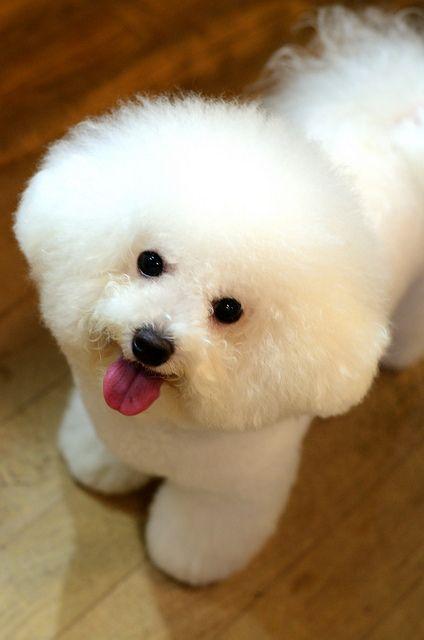 razas caninas hipoalergenicas bichon frise