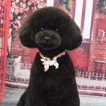 razas caninas que no pierden pelo Caniche o poodle