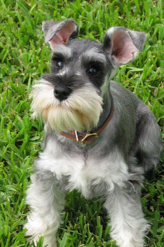 razas de perro hipoalergenicos Schnauzer miniatura