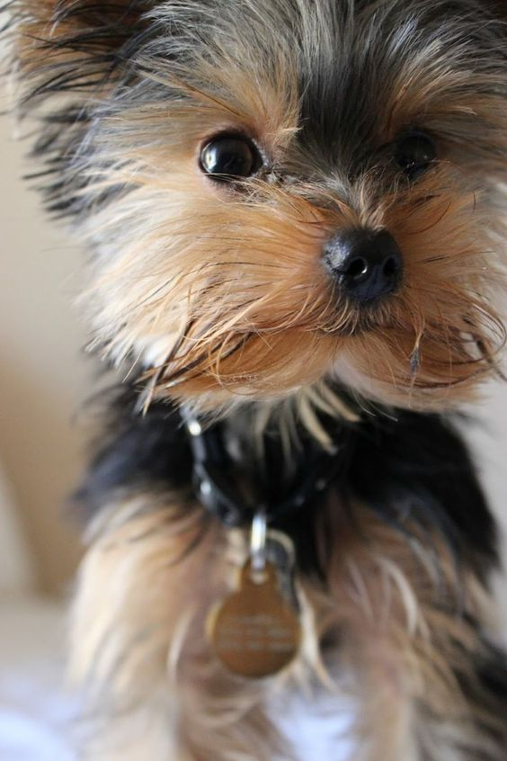 Descubre Las Razas De Perros Que No Sueltan Pelo Wakyma