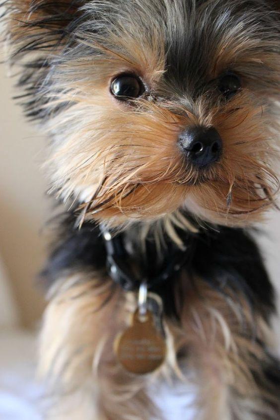 razas de perro que no pierden pelo Yorkshire Terrier