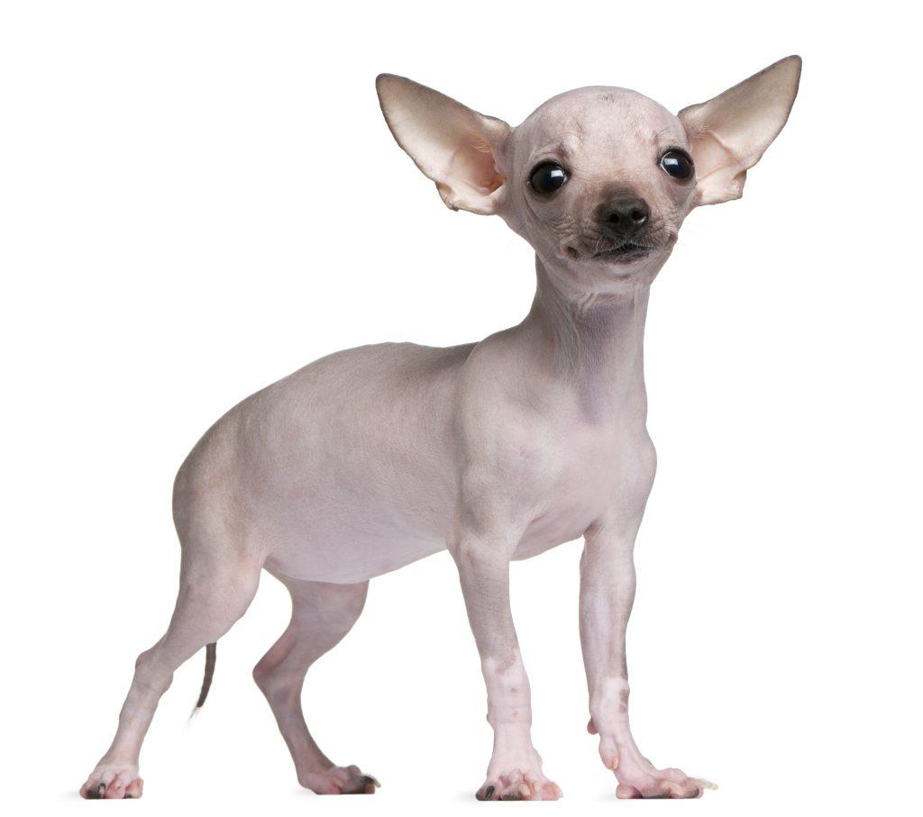 razas de perro sin pelo el chihuahua sin pelo