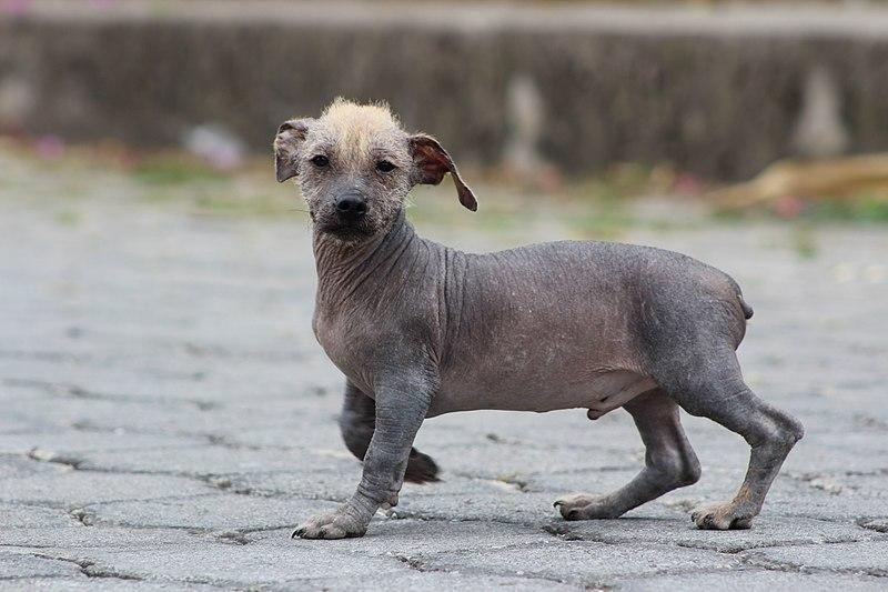razas de perro sin pelo el perro calvo dorado ecuatoriano