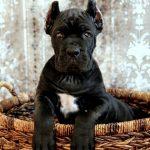 razas de perros arrugados mastín napolitano
