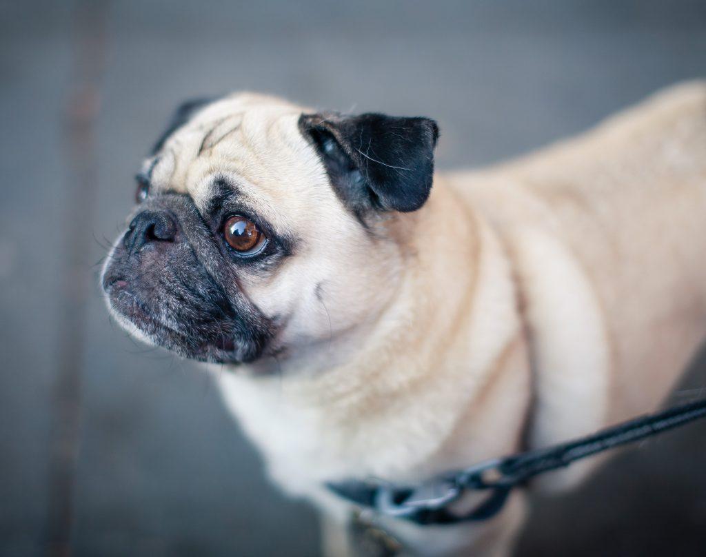 razas de perros arrugados pug o carlino