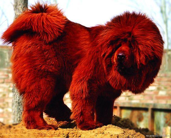 razas de perros glotones dogo del Tíbet